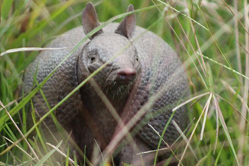 imagen de mulita armadillo