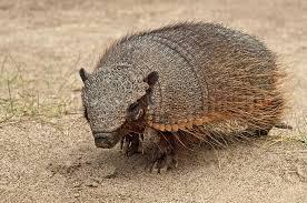 imagen de peludo armadillo peludo de argentina